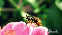 همه چیز دربارهی زنبورگزیدگی و اقدامات اولیه